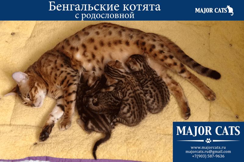 bengal-cats-s-rodoslovnoy